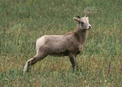 California Big Horn Sheep Lamb