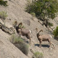 California-Bighorn-Sheep