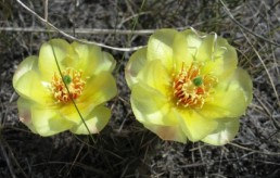 """Prickley Pear Cactus"""