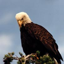Bald eagles are a frequent sight along the Fraser River.